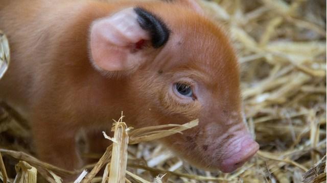 Micro pig image