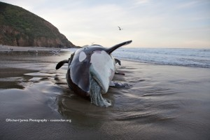 Image of an orca that washed ashore in Marin last week. Photo by Richard James – coastodian.org