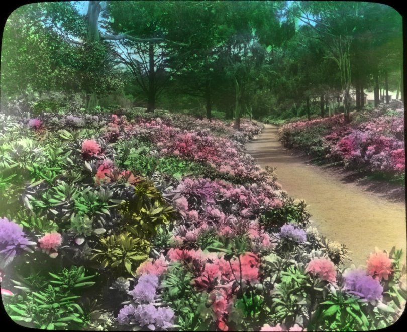 Rhododendrons in Golden Gate Park (Archival photo courtesy of Oregon State University)