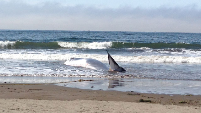 The adolescent fin whale was unable to get back out to deeper waters. (Courtesy of Shawn Johnson, Marine Mammal Center)