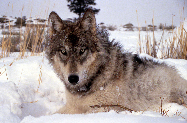 The U.S. Fish & Wildlife Service may remove the gray wolf from the Endangered Species List. (U.S. Fish & Wildlife Service - Midwest Region / Flickr)