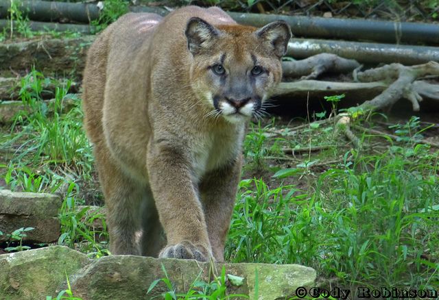 Mountain lions will get more protections in 2014. (princecody / Flickr)