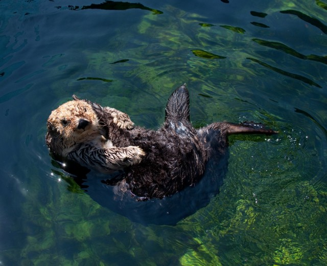 The southern sea otter. (Endangered Species Coalition)