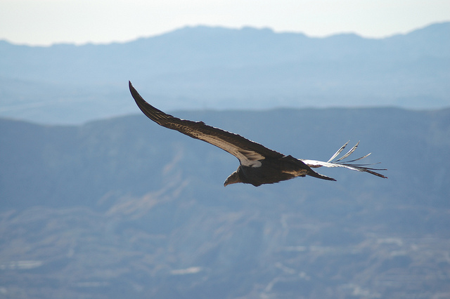 A California Condor above Los Padres park. Photo: US Fish and Wildlife Service/Flickr