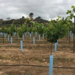 Squeezed by Drought, Some California Farmers Switch to Less Thirsty Crops