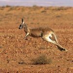 California's Ban On Kangaroo Products Would Be Blocked Under Last-Minute Legislation