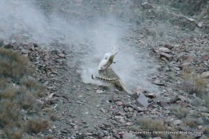 23. Leopard, Snow Hemis NP India AR-284