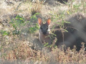 Wallaby (2)