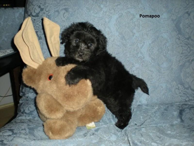 Large Of Do Poodles Shed