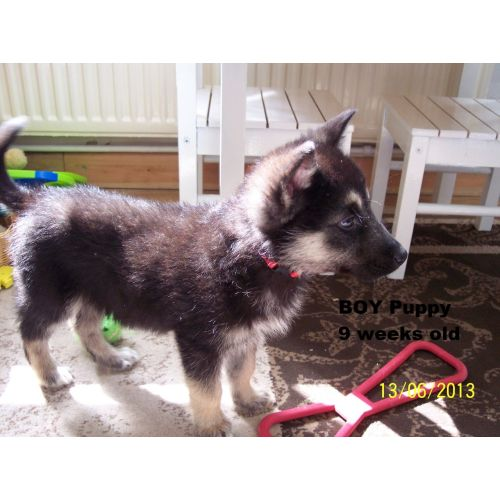 Medium Crop Of German Shepherd Malamute Mix