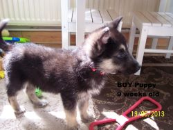 Small Of German Shepherd Malamute Mix