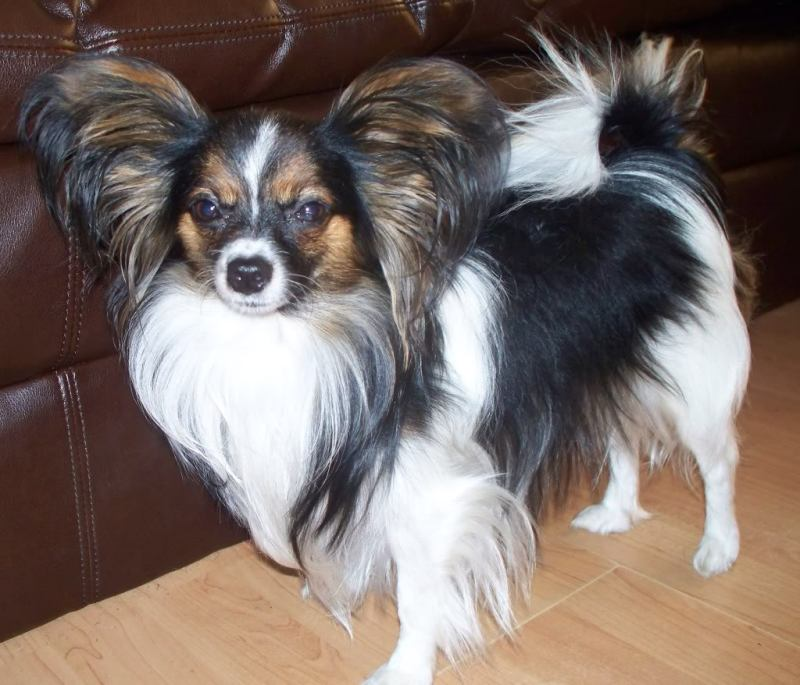 Large Of Chihuahua Life Span