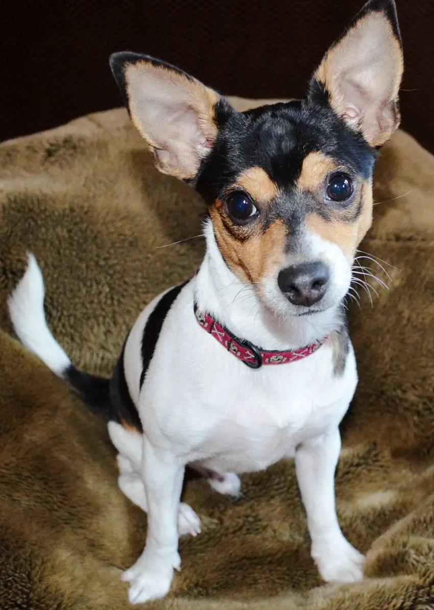 Comfy Rat Terrier Mixed Pant Chihuahua Terrier X Chihuahua Training Why Do You Chihuahuas Shake Why Do Chihuahuas Shake bark post Why Do Chihuahuas Shake
