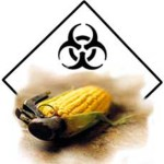 monsanto-toxic_GMO_bt_corn