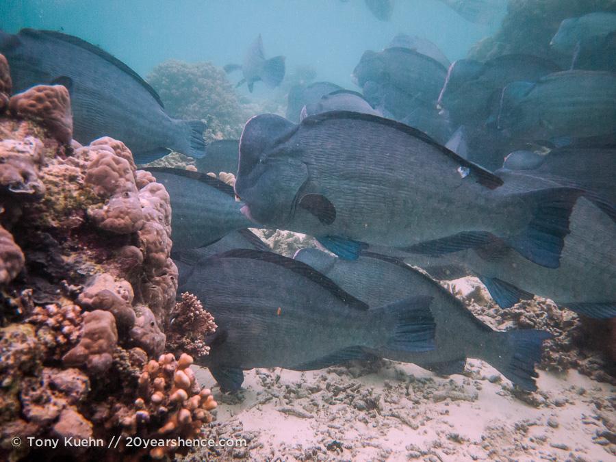 School of parrot fish at Sipadan