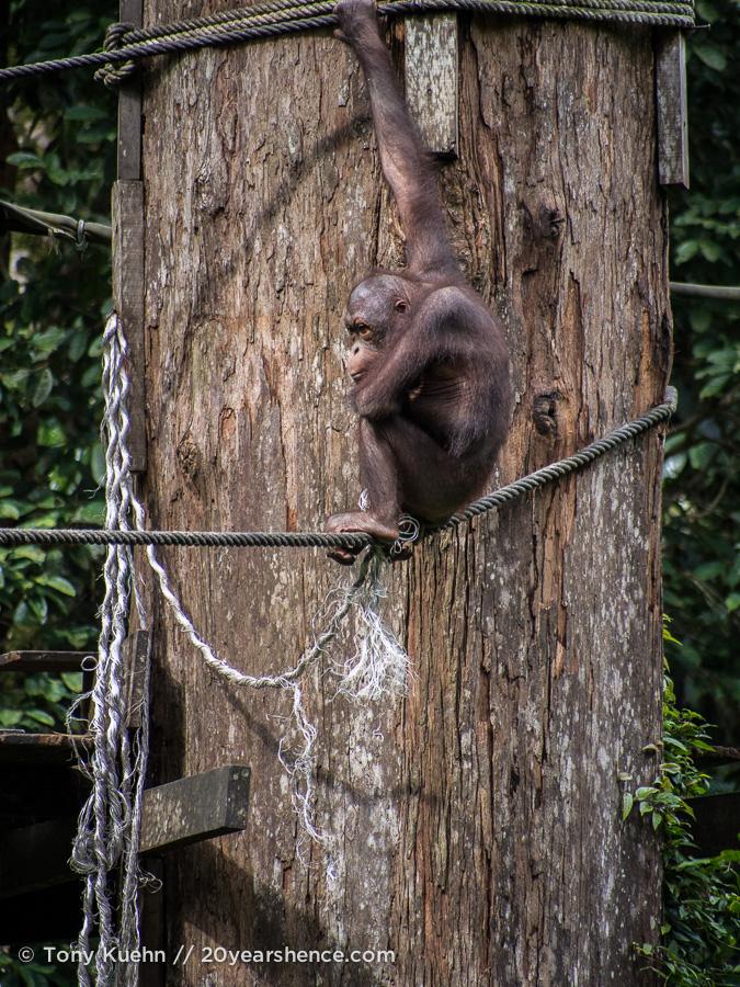 Orangutan sitting & thinking