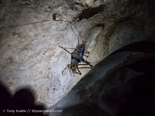 Giant crickets in Deer Cave, Mulu National Park