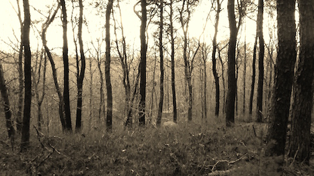 Beebe Woods Trees Sepia