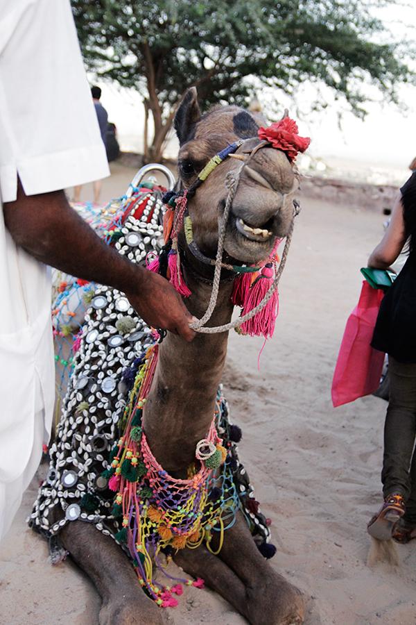 Camel from Rajhastan