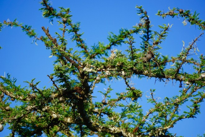 Whistling thorn acacia. They were everywhere on our Kenyan safaris.
