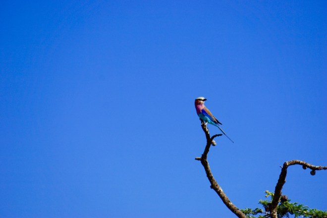 Lilac-breasted roller - the National bird of Kenya
