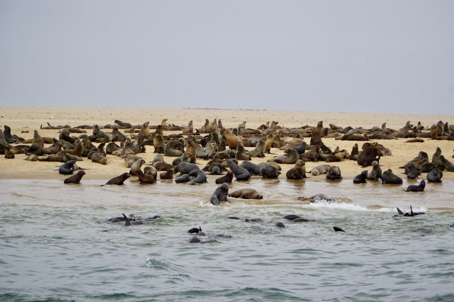 Some of the millions of smelly seals