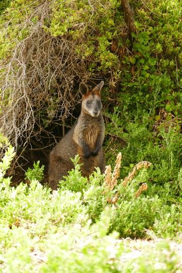 Australie-roadtrip-1501-Port_Fairy-Griffiths_Island-Tower_Hill-Halls Gap (65)