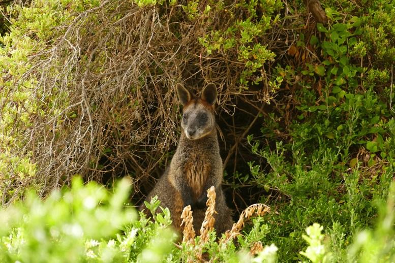 Australie-roadtrip-1501-Port_Fairy-Griffiths_Island-Tower_Hill-Halls Gap (68)