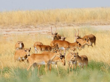 Endangered-Saigas-Antelope-Herd-889x596