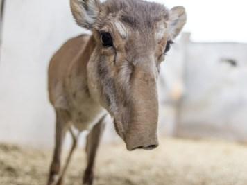 Endangered-Young-Saigas-Antelope-1020x610