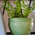 Fresh Herbs…Buy Now For The Fall & Winter Months…And Root Some In Water