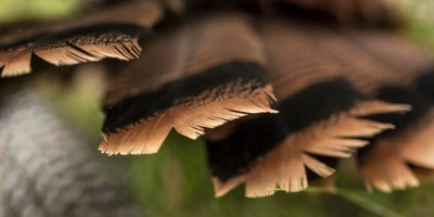 Hooray Ranch Kansas Turkey Hunts Longbeard Eastern Hunting Outfitter Toms 0003