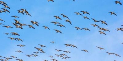 Hooray Ranch Waterfowl Kansas Mallards Black Lab Hunting Experience 0015