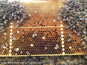 A frame with pollen, bees and honey