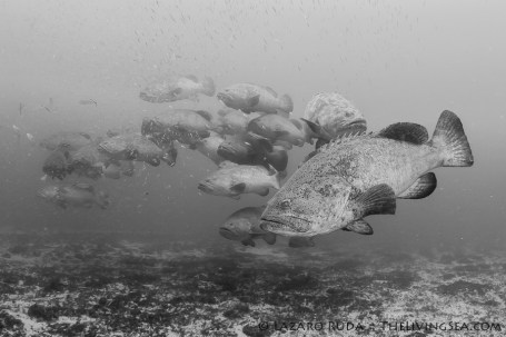 Spawning aggregation of goliath groupers