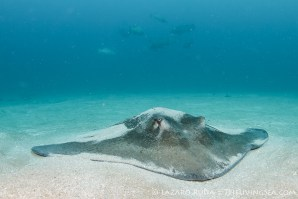 A large southern stingray with goliath groupers in the background