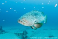 A goliath grouper swims up close
