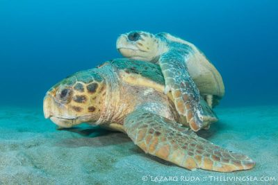 Mating Loggerhead turtles