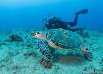 Amy and a Loggerhead turtle