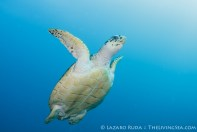 Hawksbill sea turtle coming up for a breath of air