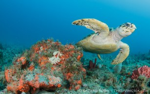Beautiful sea turtle and reef in Palm Beach
