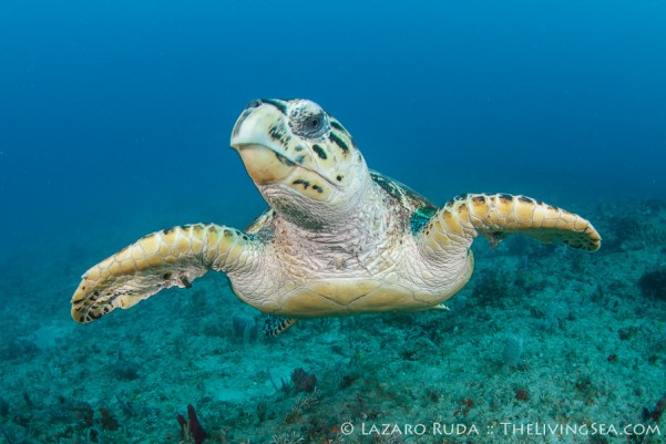 Sea turtle gliding across the reef