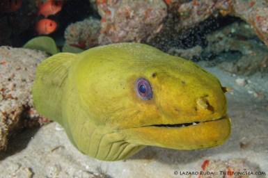 Friendly green moray eel