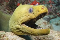 A pair of neon gobies clean the green moray eel.