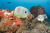 Knowing we are celebrating World Oceans Day the butterfly fish are usually the first at the dance floor!