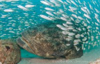 Goliath grouper stalking bait fish