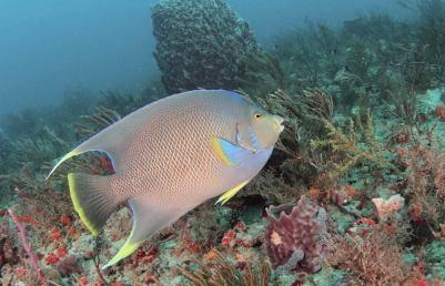 A Blue Angelfish cruising the reef
