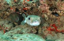 This Porcupine Fish is happy to see us!