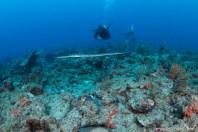 The illusive cornetfish