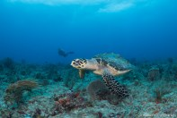 One more photo of that friendly hawksbill sea turtle